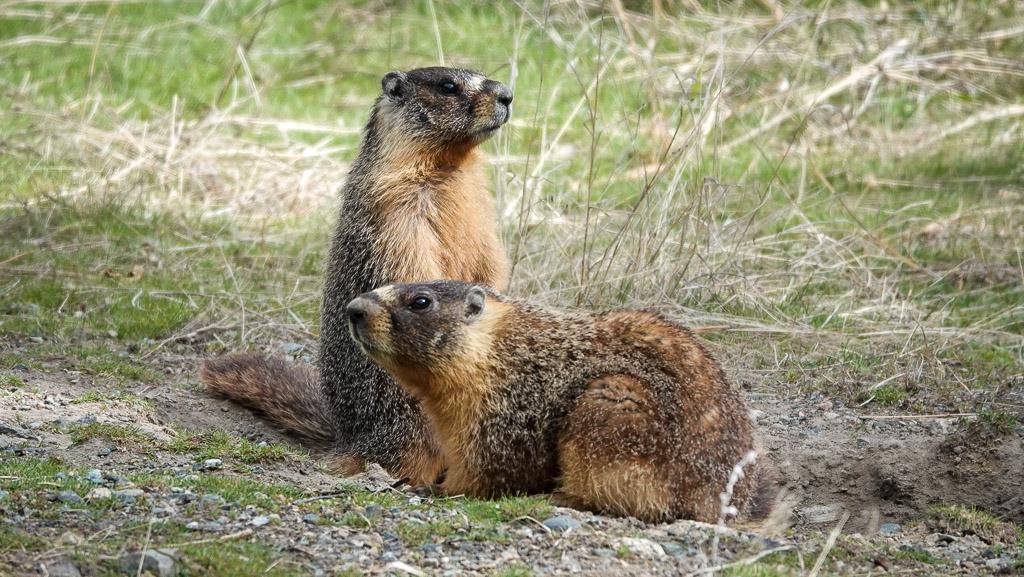 Deux marmottes en bordure de la route